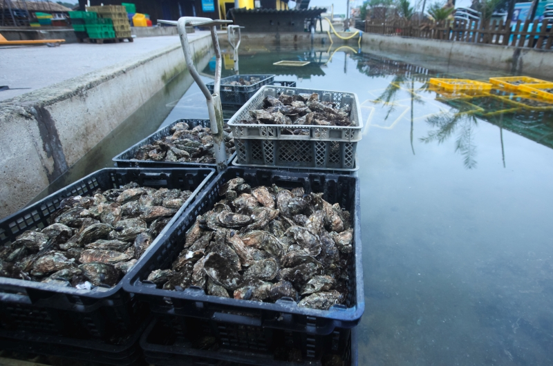 Oysters in baskets in sea water pools waiting to be pacakged and sold.