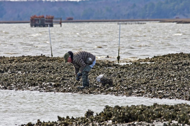Chincoteague, VA,USA-March 15, 2013: Islander harvesting the prized Chincoteague oyster the old fashioned way on March 15, 2013 in Chincoteague, VA. They were first harvested by settlers in the 1600s.